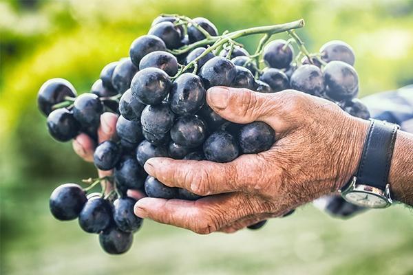 Raisin : des grappes qui méritent d'être cuisinées
