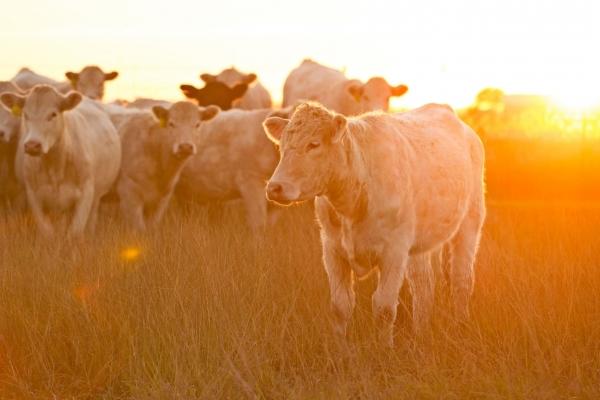 Tout savoir sur la viande de bœuf Charolaise