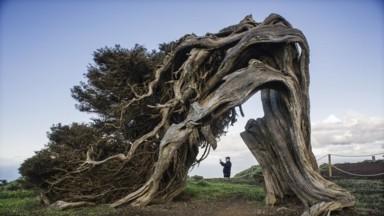 La sabina es el árbol emblema de la isla de El Hierro (Xavier Cervera)