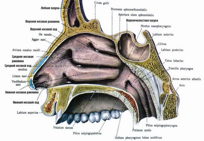 Анатомия пазух