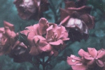 כמו פרח אחרי הגשם