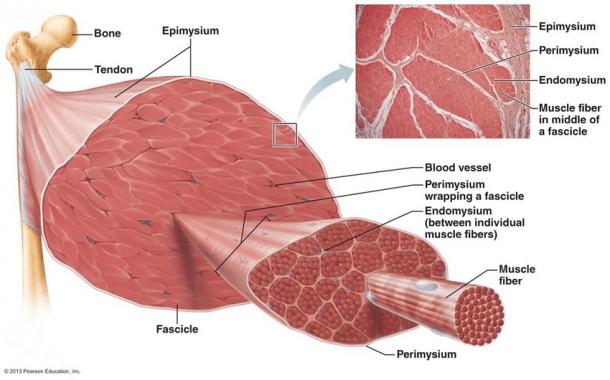 מבנה השריר כסיבים בודדים היוצרים מין רצועה אחת ארוכה