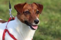 אוכל לכלבים מסוג ג'ק ראסל טרייר - איך לשמור על האהובים שלנו?