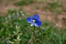 פרח כחול בשדה לבן