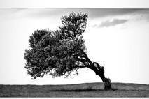 עץ עקום