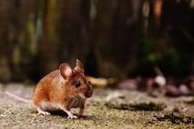 מה עושים כשיש עכבר בבית