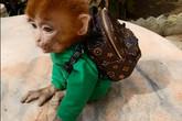 קוף עם תיק גב חום