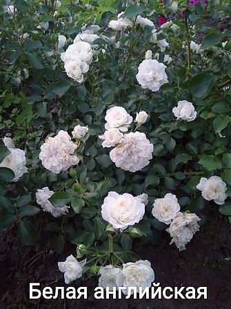 Розы штамбовые в ассортименте, шаровидная рябина, высылаем по Украине Бахмут - зображення 5