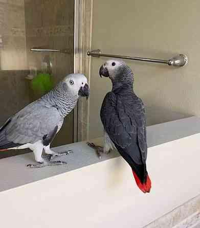 самці і самки африканських сірих папуг Конго Запоріжжя
