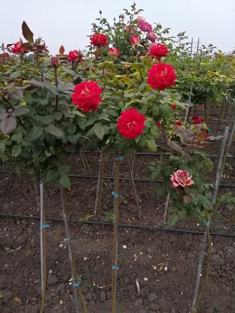 Розы штамбовые в ассортименте, шаровидная рябина, высылаем по Украине Бахмут - зображення 1