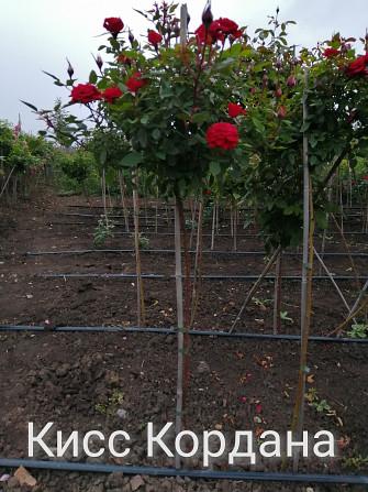 Розы штамбовые в ассортименте, шаровидная рябина, высылаем по Украине Бахмут - зображення 2