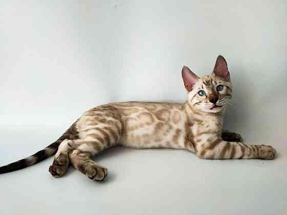 selling bengal cat- продам бенгальского котенка Київ