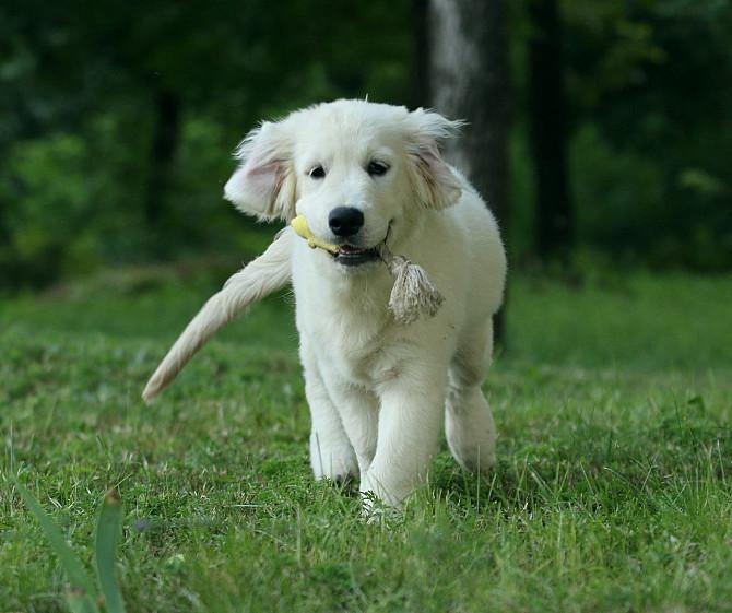 Продам щенка золотистого ретривера Запоріжжя - зображення 2