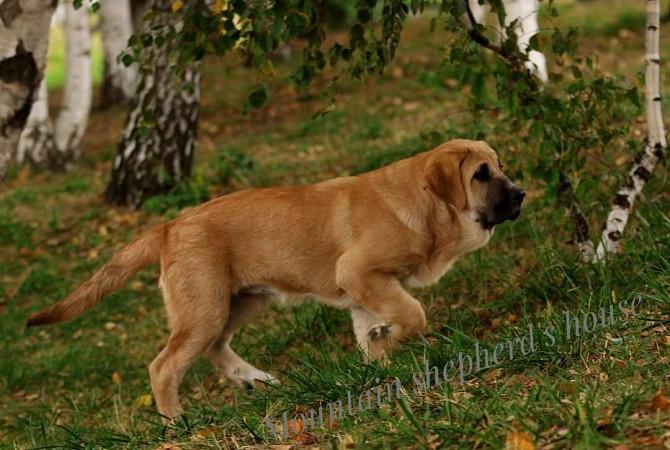 Породистые щенки Испанского мастифа с документами КСУ FCI. Дніпро - зображення 7