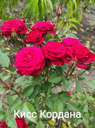 Розы штамбовые в ассортименте, шаровидная рябина, высылаем по Украине Бахмут - зображення 3