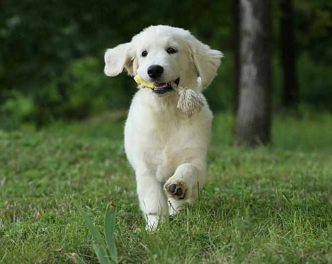 Продам щенка золотистого ретривера Запоріжжя - зображення 5