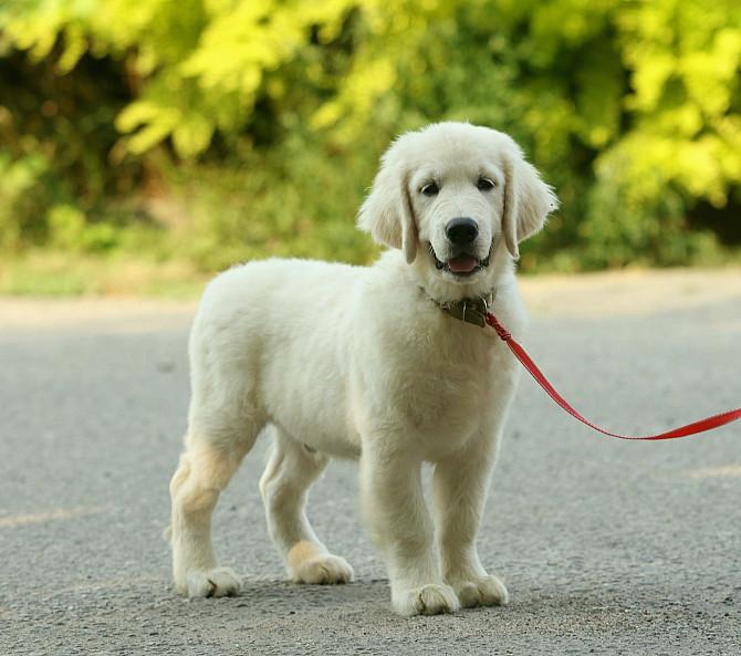 Продам щенка золотистого ретривера Запоріжжя - зображення 6