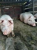 Продам домашнiх свиней Лубни
