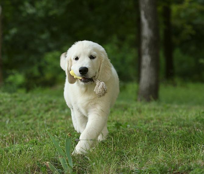 Продам щенка золотистого ретривера Запоріжжя - зображення 4
