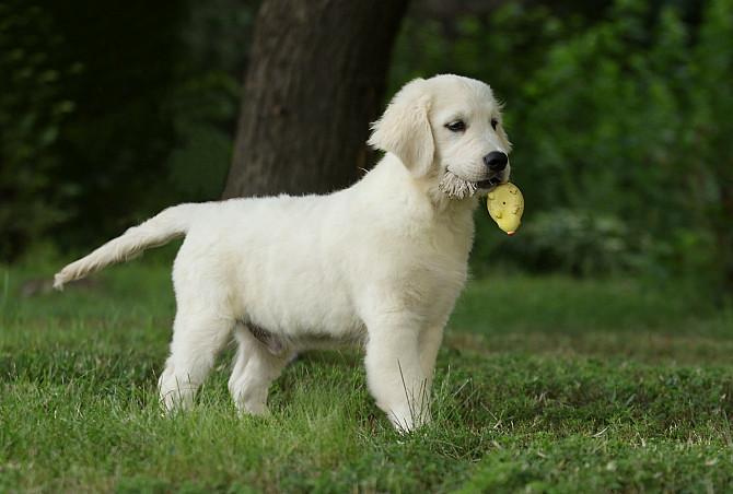 Продам щенка золотистого ретривера Запоріжжя - зображення 3