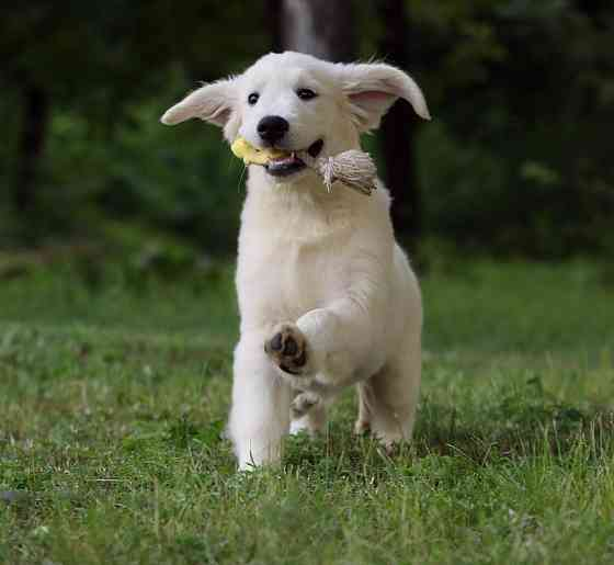 Продам щенка золотистого ретривера Запоріжжя