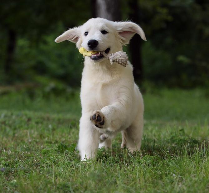 Продам щенка золотистого ретривера Запоріжжя - зображення 1