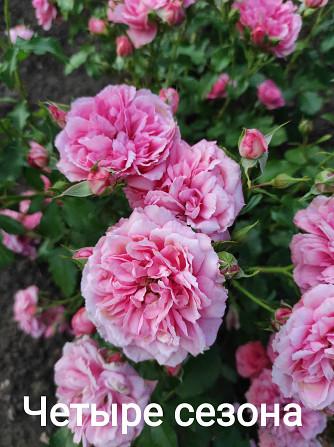 Розы штамбовые в ассортименте, шаровидная рябина, высылаем по Украине Бахмут - зображення 6