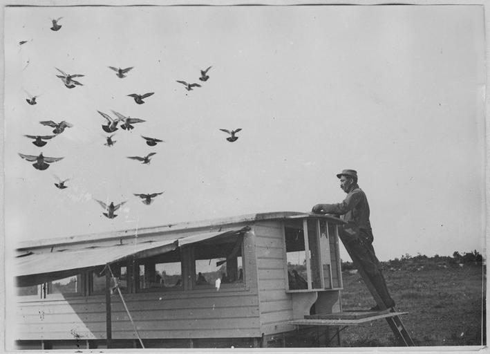 Pigeons in the French army