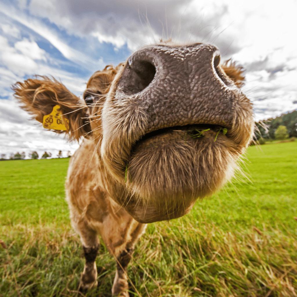 French Idiomatic Expression - Manger de la vache enragée