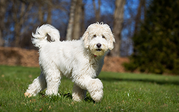 Labradoodle wit