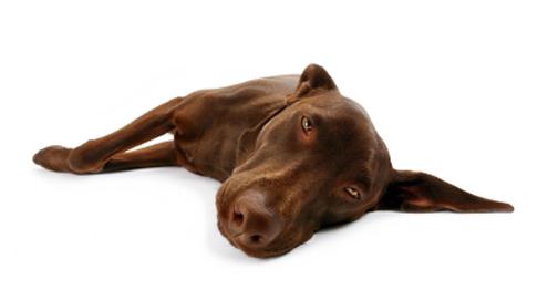 Erkrankungen der Bauchspeicheldrüse beim Hund
