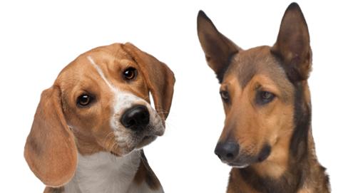 Alles over het oor en oorontsteking bij de hond