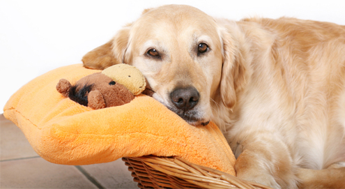 Schijnzwangerschap bij de hond