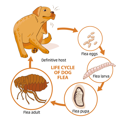 Flea cycle