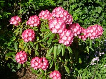 Rhododendronblüte im Juni
