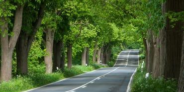 Grüner Tunnel: Typische Alleenstraße auf Rügen