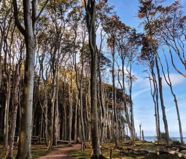 Der Gespensterwald von Nienhagen im Herbst