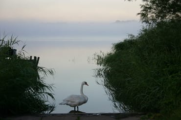 Der schöne, erhabene Schwan am Selliner See