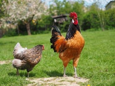 Die Hühner kakeln auf der Wiese
