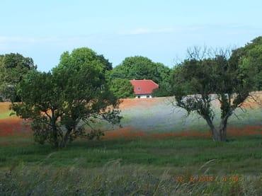 Die Mohn- und Kornblumenfelder im Juni/ Juli begeistern jedes Jahr aufs Neue