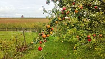 Bald ist Apfelernte
