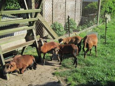 Die Schaffamilie unseres Hofes