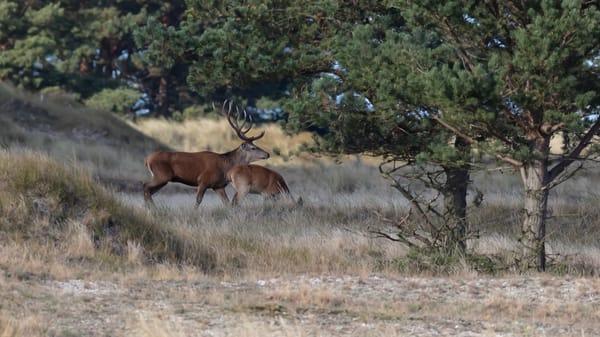 Hirsche am Darßer Ort