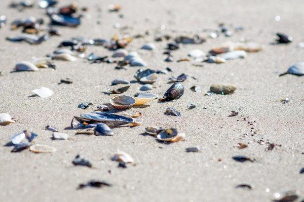 Muscheln sammeln