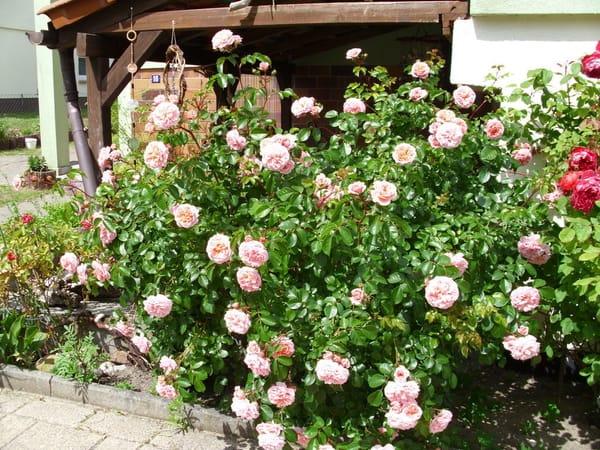 Rosen am Haus Knurrhahn