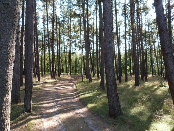 Der Darßer-Wald