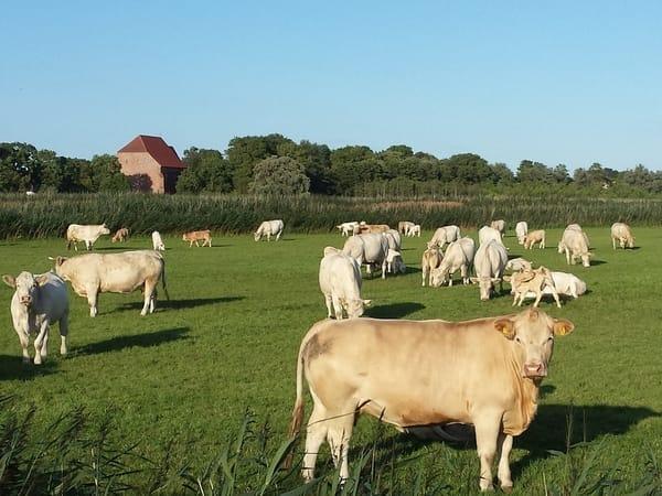 Außenbereich - Kühe