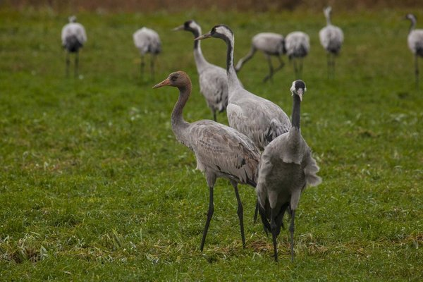 Sept. + Okt.: die fünfte Jahreszeit für Zingst und Umgebung.Ein unbedingtes Muss für alle Vogel und Naturliebhaber! Die Kraniche sind da.Geführte Touren + Fotoworkshops werden von uns angeboten.