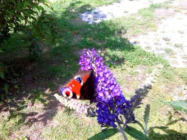 die zarten Besucher des Schmetterlingsstrauches vor dem Fenster