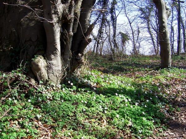 Strandwald Koserow im Frühling